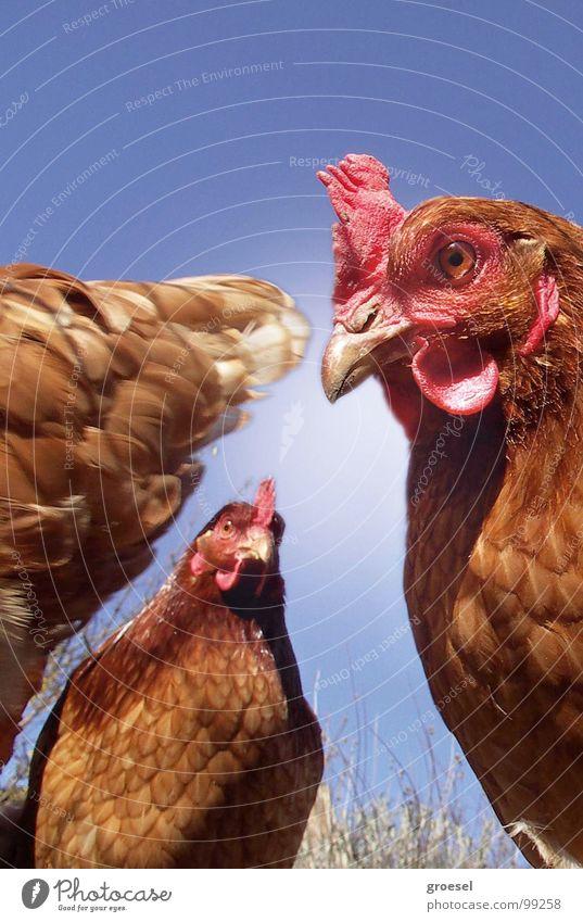 Nature Eyes Animal Bird Feather Curiosity Trust Meeting Americas Appetite Egg Testing & Control Beak Barn fowl Mistrust Meeting point