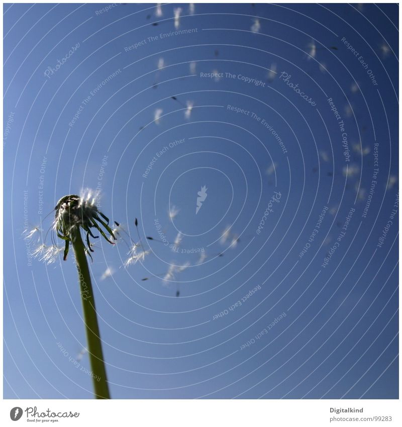 Nature Sky Blue Plant Summer Calm Loneliness Freedom Wind Dandelion