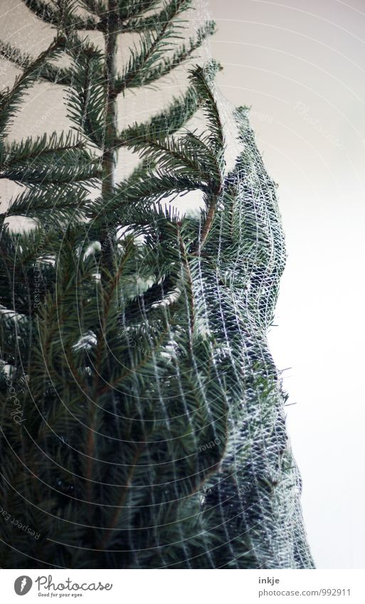 Christmas & Advent Green Feasts & Celebrations Lifestyle Leisure and hobbies Decoration Net Christmas tree Tradition Fir tree Anticipation Packaged Christmas decoration Coniferous trees