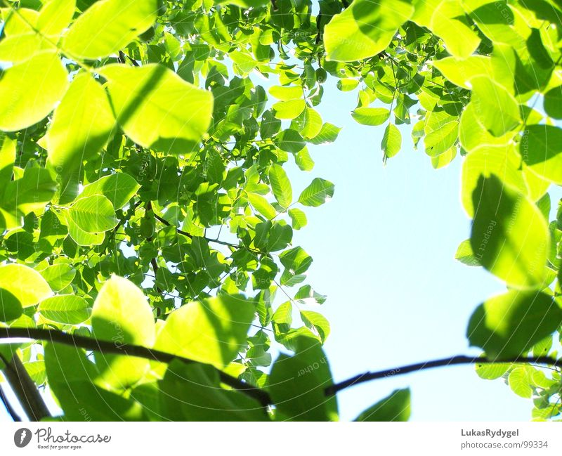 puff pastry Leaf Sky Green Tree Plant Muddled Calm Light Flashy Summer leaves Blue Shadow Nature Bright