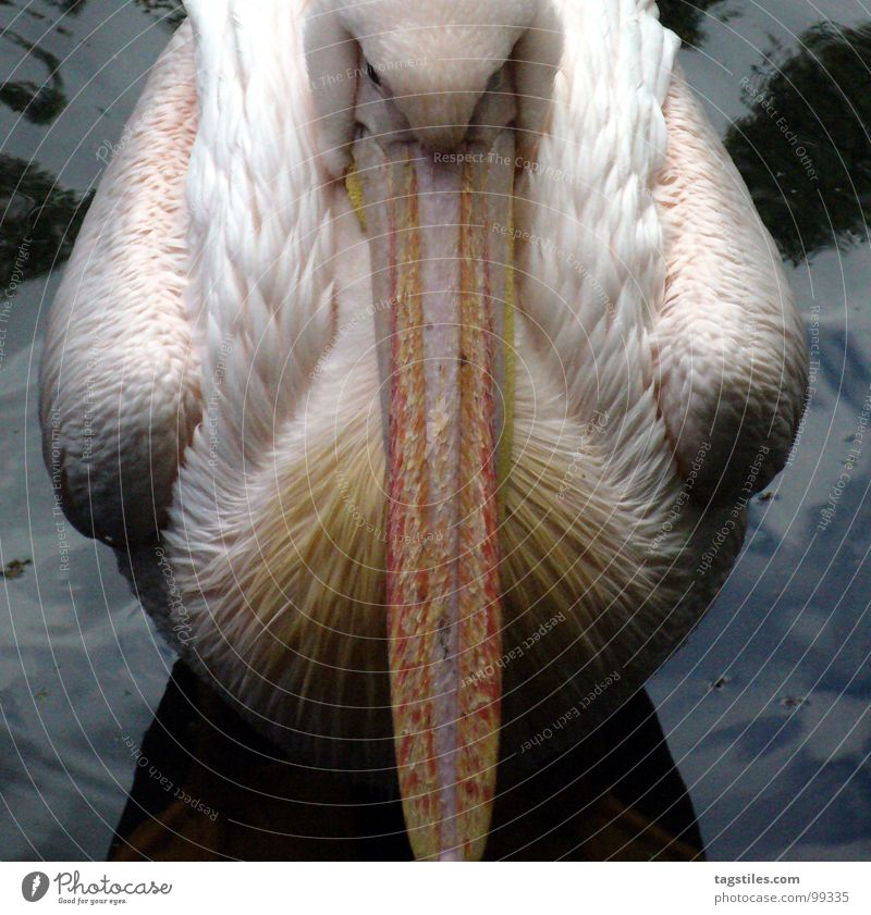 Fuck! Tourists! Pelican 2 Half Center line Unfriendly Moody Pink Beak Exasperated White Gloomy Boredom Bird Water Division daytime Feather