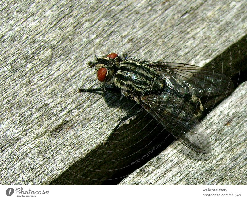 Gap and fly I Fly Insect Flesh fly Macro (Extreme close-up) Column Furrow Crawl Disgust Dark creep out bothersome