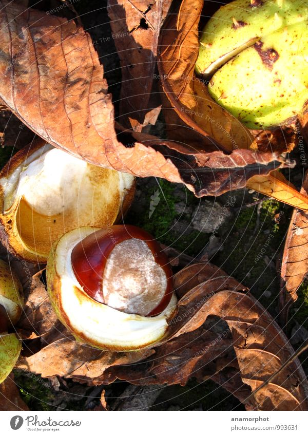 Nature Plant Beautiful Green Leaf Forest Warmth Autumn Moody Brown Clean Round Chestnut September 2014