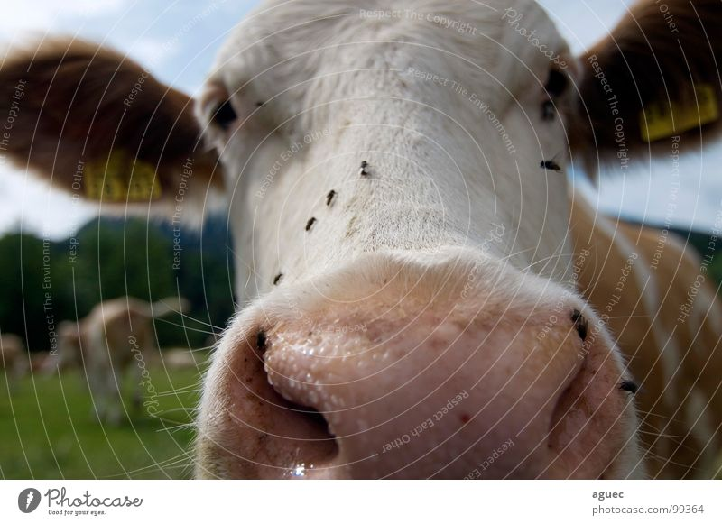 Look here! Cow Cattle Frontal Front view Animal Pelt Cowhide Eyelash Nostril Snout Nostrils Pink Damp White Brown Meadow Bavaria Cattleherd Dairy cow Curiosity