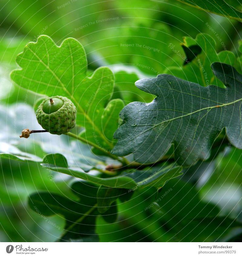 Oak rustic Tree Leaf Tree trunk Supple Soft Mellow Renewal Innovative Renaissance Spring Summer Green Green undertone Brown Plagues Forest death Maturing time