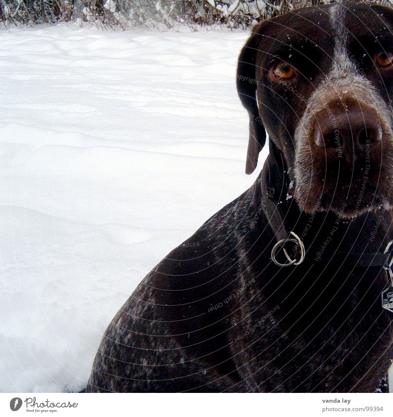 Dog Animal Winter Eyes Cold Snow Air Ice Weather Wild animal Signs and labeling Rope To go for a walk Branch Hunting Mammal