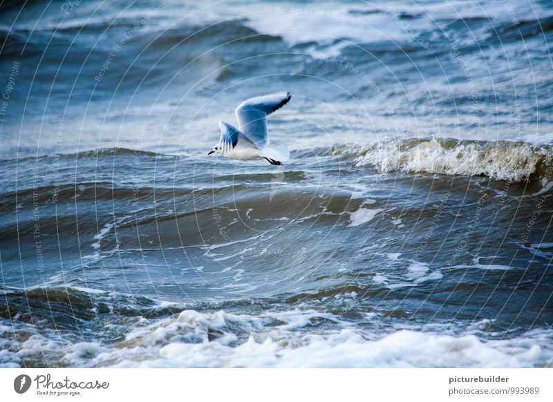 in the wind Tourism Beach Ocean Waves Nature Elements Water Coast North Sea Seagull 1 Animal Observe Flying Endurance Colour photo Exterior shot Copy Space top