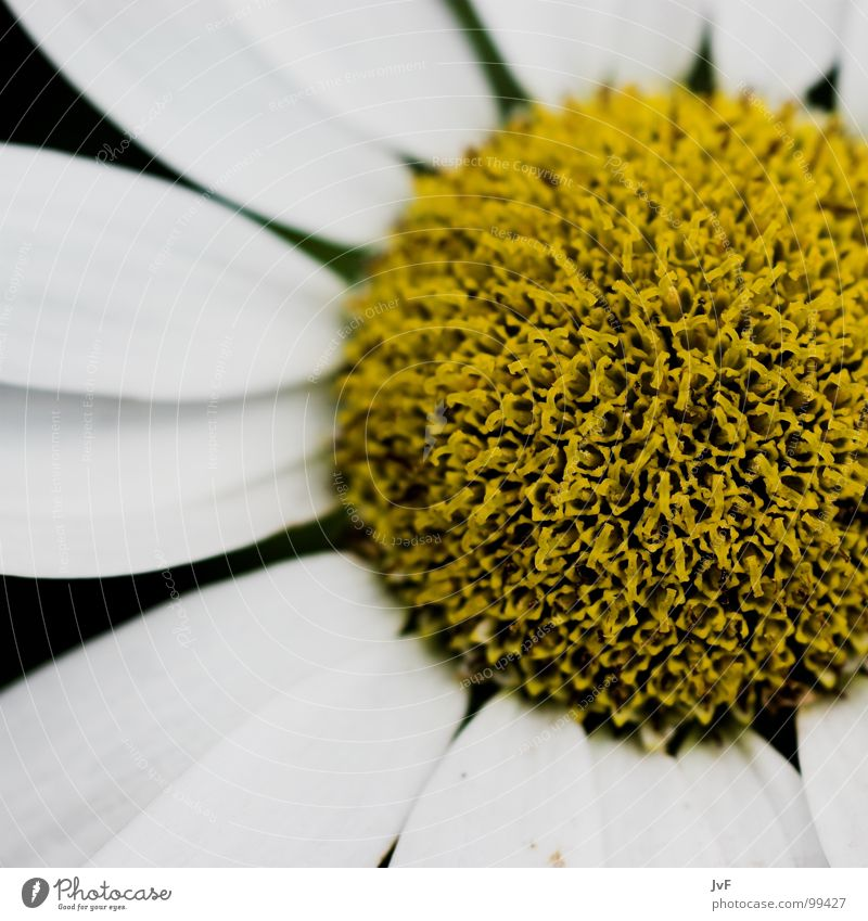 White Flower Yellow Spring Circle Round Longing Bee Pollen Marguerite Honey Blossom leave Undo Stamen Gaudy Nectar