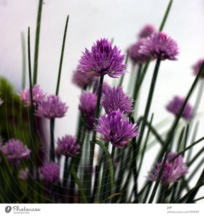 Green Flower Spring Growth Nutrition Violet Blossoming Herbs and spices Chives