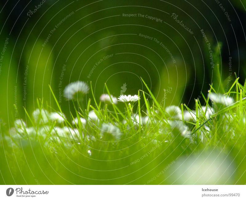 Flower Green Summer Meadow Grass Garden Lawn Daisy