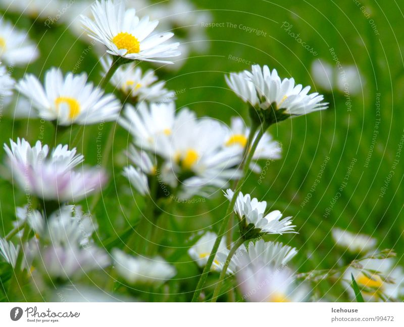 Daisy very big Flower Green Grass Meadow Summer Lawn Garden