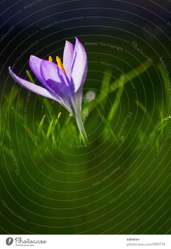 Nature Plant Meadow Blossom Spring Garden Blossoming Violet Crocus