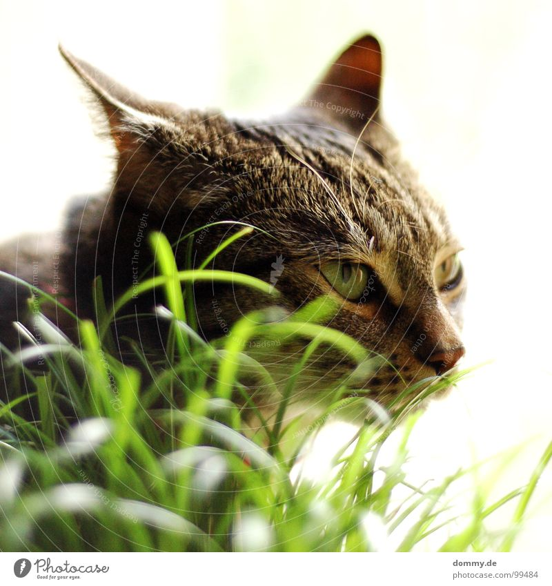 tiger Cat Grass Attack Aggressive Whisker Domestic cat White Aim Blade of grass Drop anchor Mammal Funny Eyes Hair and hairstyles Nose Ear house hangover