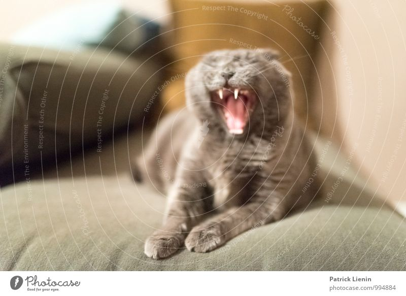 Wild Cat Environment Animal Pet Animal face 1 Exceptional Beautiful Uniqueness Warmth Feminine Soft Fatigue Yawn Teeth Paw Sofa Living or residing Pelt Gray
