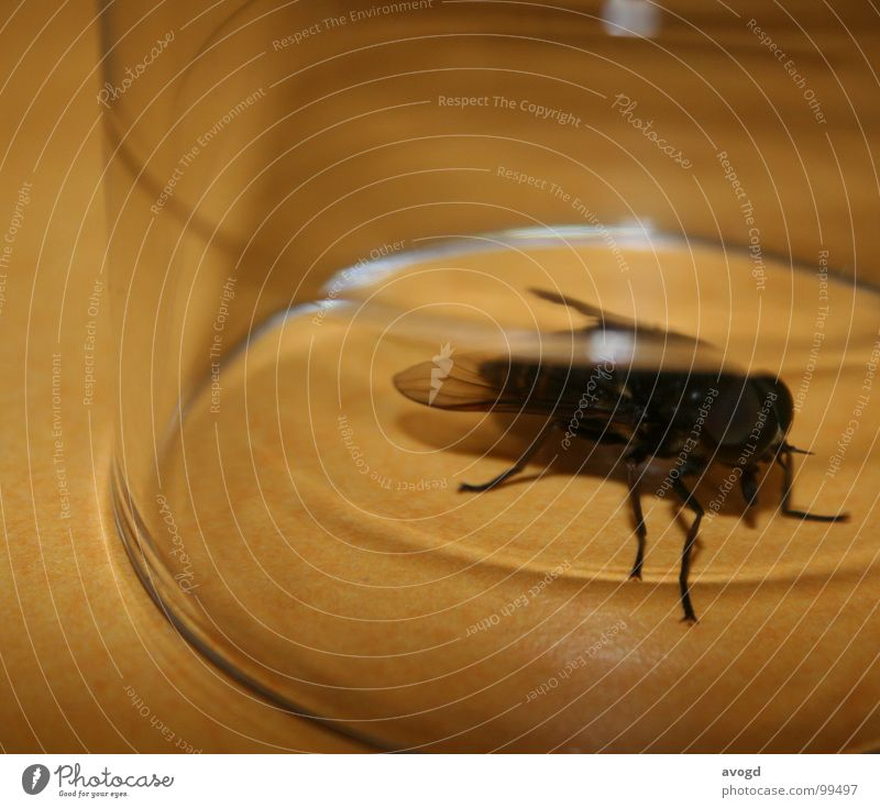 Black Eyes Animal Small Legs Glass Fly Large Table Circle Might Round Wing Insect Transparent Crawl