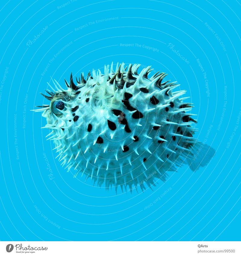 Blue Water Ocean Fear Dangerous Fish Threat Dive Cuba Escape Panic Atlantic Ocean Florida Brothel Islamorada Globefish