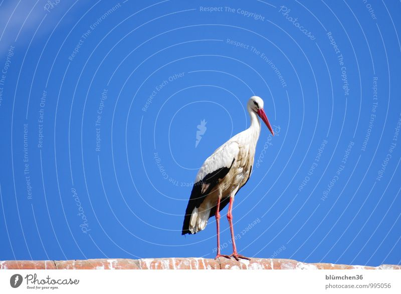 At the observation post. Animal Farm animal Bird Stork White Stork Stride bird Migratory bird Poultry Observe Looking Esthetic Elegant Beautiful Natural Balance