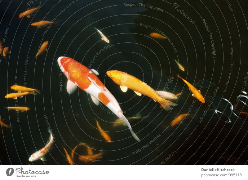 koi pond Beautiful Water - a Royalty Free Stock Photo from