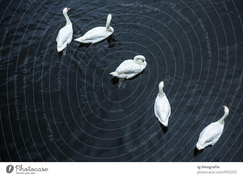 Swan Lake Beautiful White Water Animal Black Lake Bird Together Elegant Power Group of animals River Swan