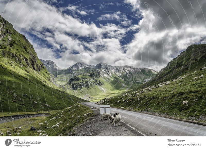 Cows on the road Beautiful Vacation & Travel Winter Mountain Environment Nature Landscape Sky Clouds Hill Street Natural Green White Colour Beauty Photography