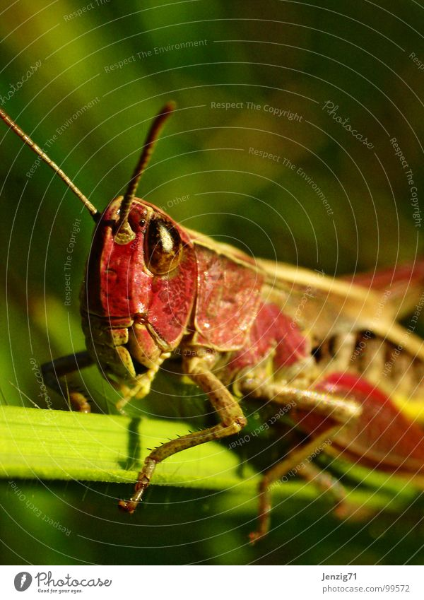 Red Knight. Insect Macro (Extreme close-up) Great green bushcricket Locust Salto Small Diminutive Meadow Grass Animal