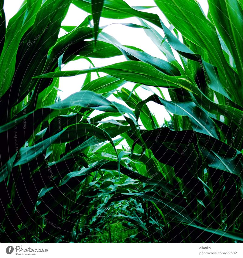 Zea Mays Colour photo Exterior shot Deserted Day Deep depth of field Worm's-eye view Food Grain Nutrition Organic produce Gardening Environment Nature Plant