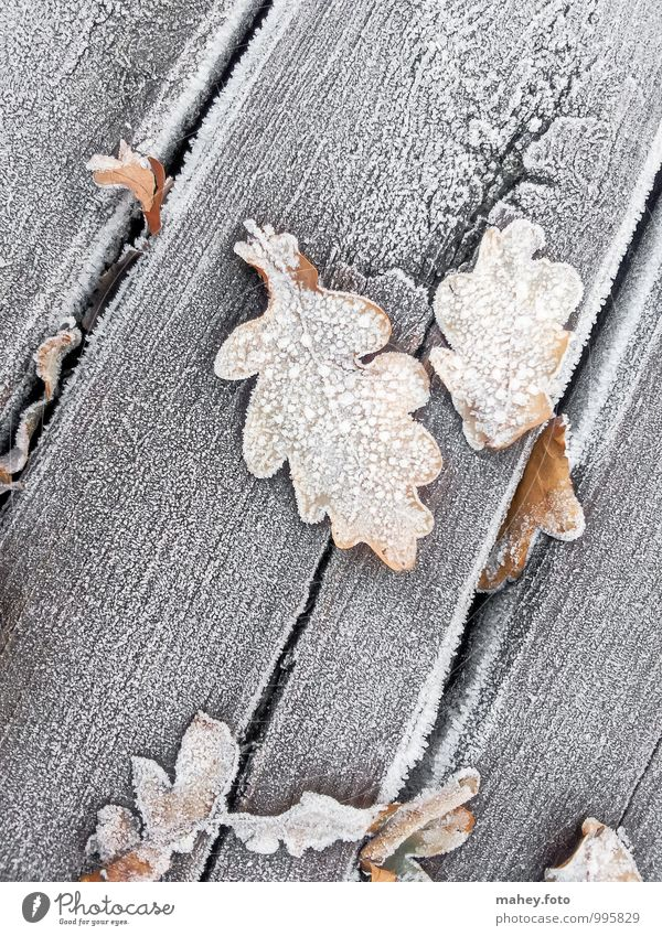 frosty days Nature Plant Autumn Winter Ice Frost Tree Garden Wood Old Cold Brown Transience Change Wooden board Oak tree Oak leaf Wooden floor Seasons