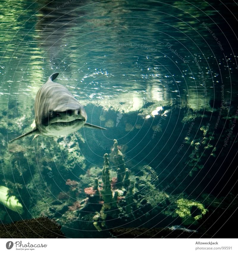 Water Old Ocean Gray Fear Large Fish Action Might Dangerous Threat Dive Underwater photo Appetite Evil Aquarium