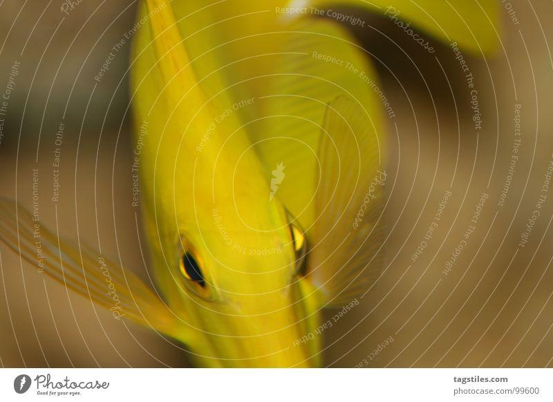 Water Ocean Eyes Yellow Fish Beige Swing Goggle eyed Surgeon fish