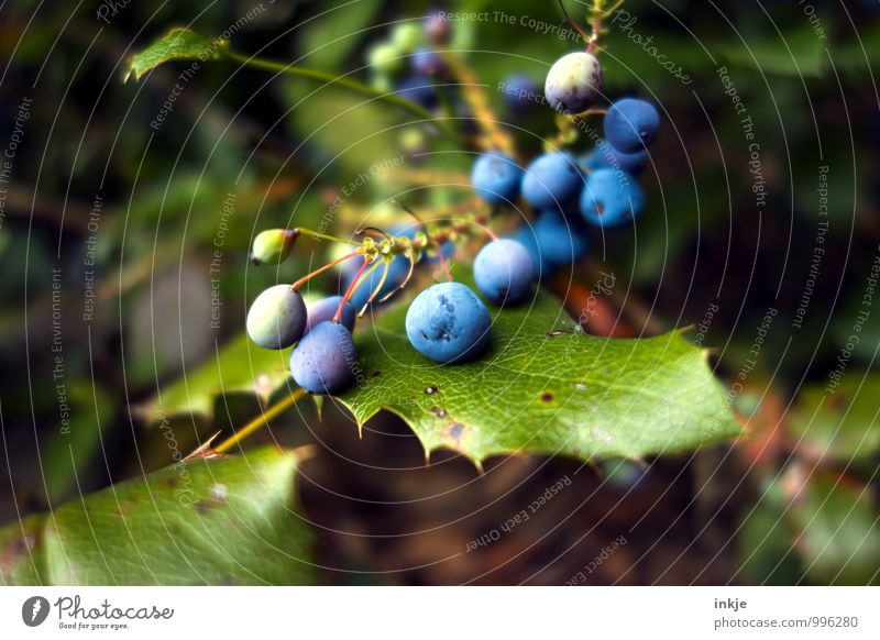 bird food Nature Plant Leaf Berry seed head Berries Berry bushes Garden Round Juicy Blue Green Sustainability Colour photo Multicoloured Exterior shot Close-up