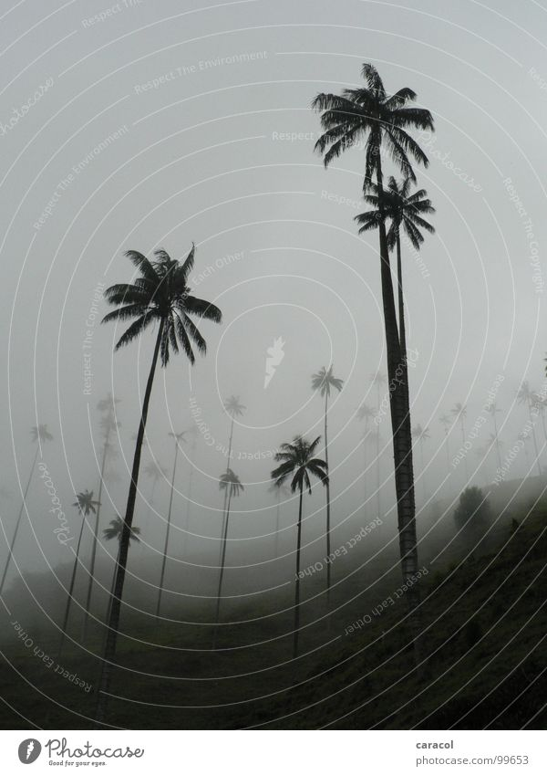 Palm forest II Palm tree Tree Gray Fog Slope Forest Black White Cold Cloud forest Clouds Tree trunk Gloomy Dreary Comfortless Mysterious Mystic Autumn Winter