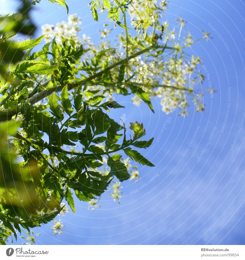 Beautiful Sky White Flower Green Blue Plant Summer Clouds Life Meadow Blossom Air Bright Lighting Fresh