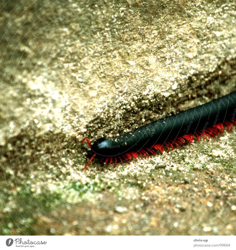 millipedes Insect Feeler Long Animal Millipede Giant Thorntail Nature Meandering Copy Space top Partially visible Section of image Detail