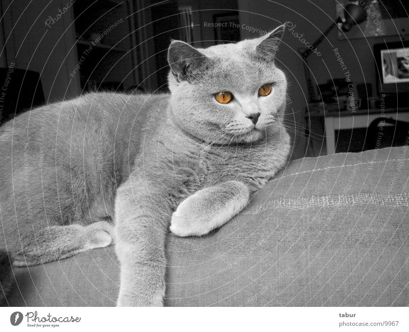 Cat II Domestic cat Big cat Animal Mammal Carthusians pet