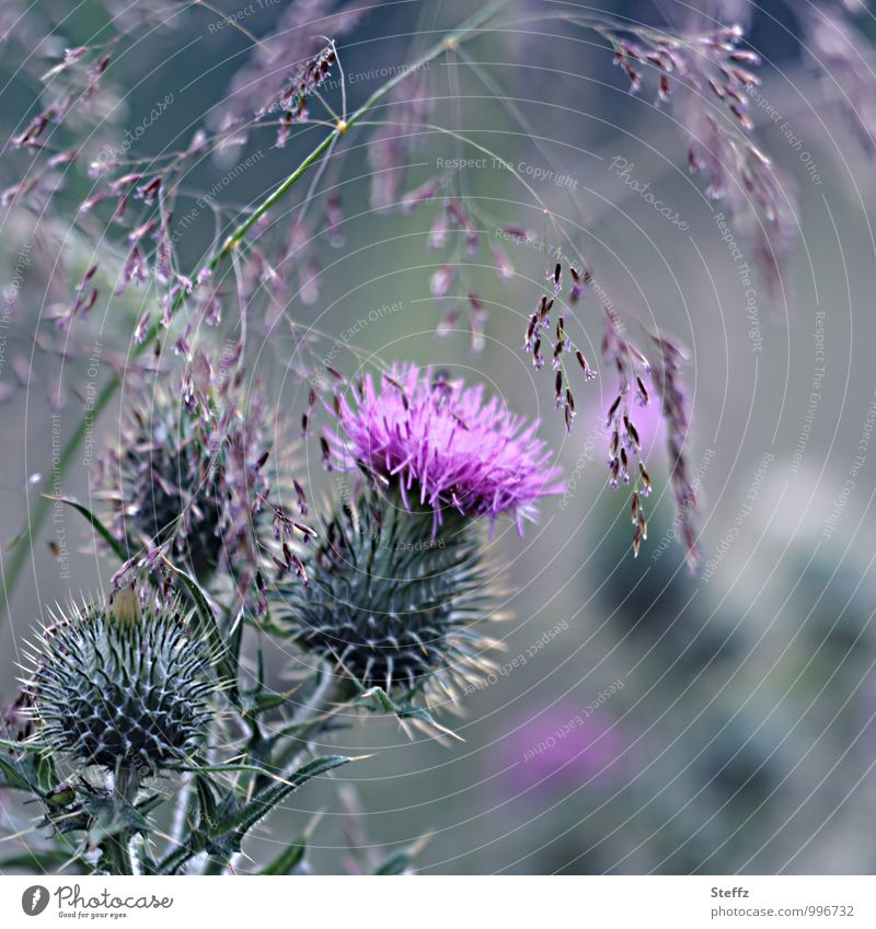 Thistle & Co. Environment Nature Plant Summer Grass Wild plant Thistle blossom Thorn Meadow flower Scotland Blossoming Natural Beautiful Green Violet Pink