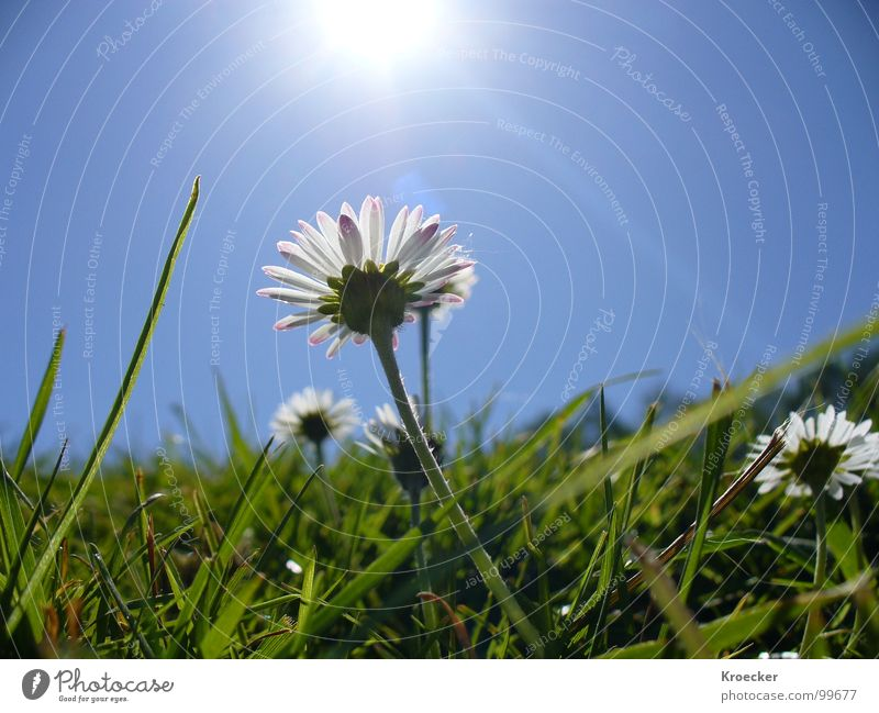 Nature Blue White Green Beautiful Plant Sun Flower Calm Life Meadow Grass Spring Small Contentment Free