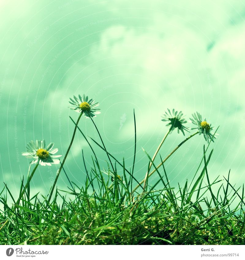 Green White Flower Clouds Joy Yellow Blossom Meadow Grass Fresh Happiness Perspective Lawn Stalk Daisy Marguerite