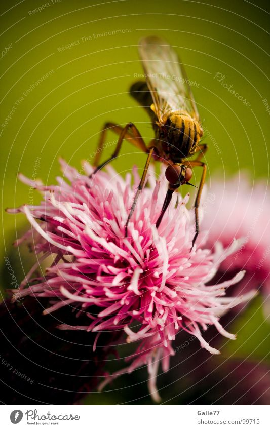 Nutrition Blossom Food Insect Long Delicious Appetite Meal Pierce Stamen Mosquitos Suck Trunk Costs Sting Nectar