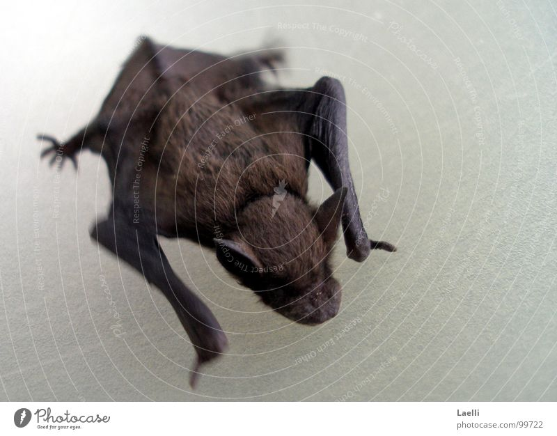 ...I don't bite either. Bat Claw Ear Pelt Vampire Mammal Feet Nose Skin Wing Mouse Mosquitos