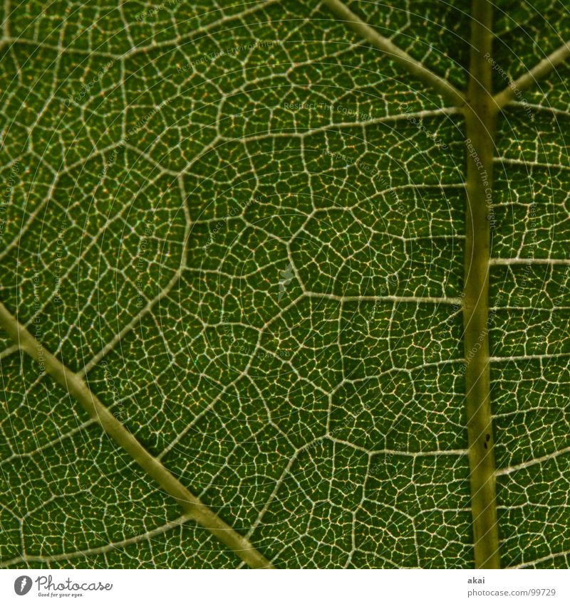 The sheet 15 Plant Green Botany Part of the plant Creeper Verdant Environment Bushes Back-light Leaf Background picture Tree Near Photosynthesis Vessel Detail