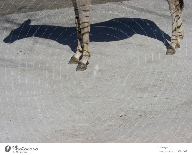 Shadows of himself Zoo Horse Physics Hot Asphalt Concrete Zebra Mammal ungulate Beautiful weather Warmth midday heat okapi