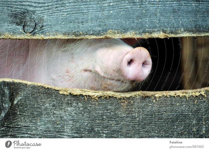 Nature Animal Environment Natural Bright Pelt Animal face Muzzle Farm animal Swine Barn Wooden fence Pig head Pig's snout
