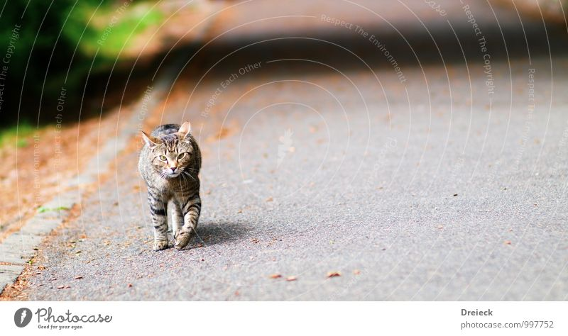 cat-walk Animal Pet Cat Animal face Pelt Claw Paw 1 Stone Observe Movement Looking Gray Silver Curiosity Colour photo Multicoloured Exterior shot Day Light