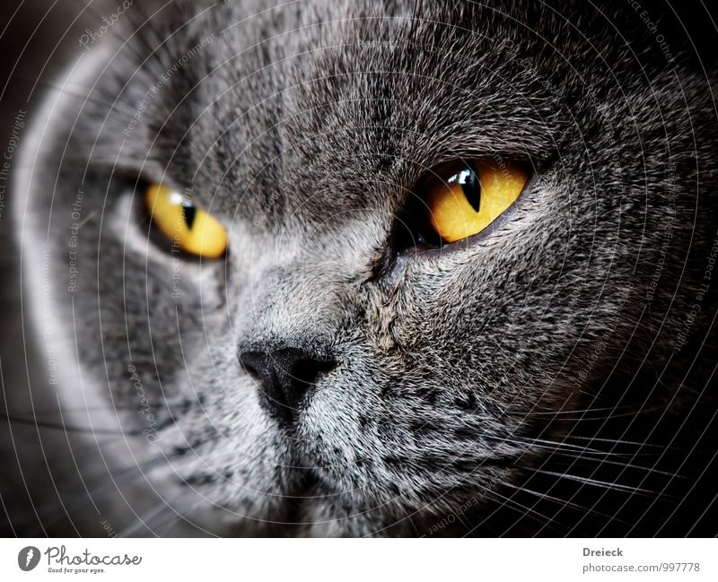 Cat Animal Yellow Gray Gold Pelt Animal face Pet