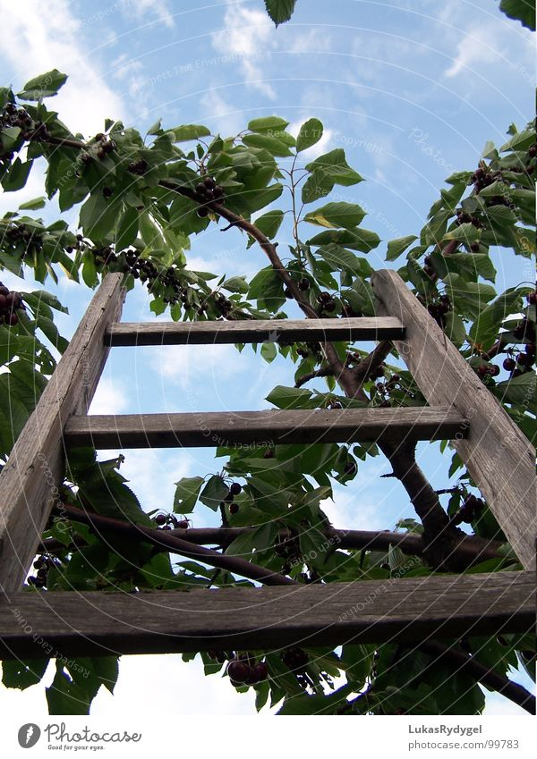 The ascent Cherry Tree Branchage Leaf Wood Shaky Dry Rung Summer Ladder Sky Blue Old Freedom Dangerous Level Above Fruit Stairs