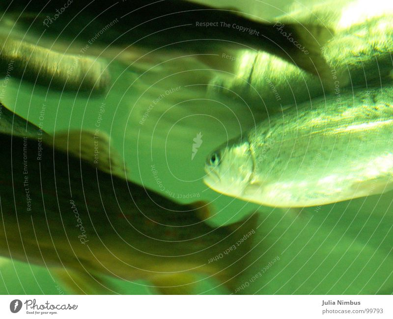 trout Rainbow trout Brown trout Underwater photo Aquarium Shoal of fish Environment Lake Glittering Structures and shapes Green Fish Trout Nature