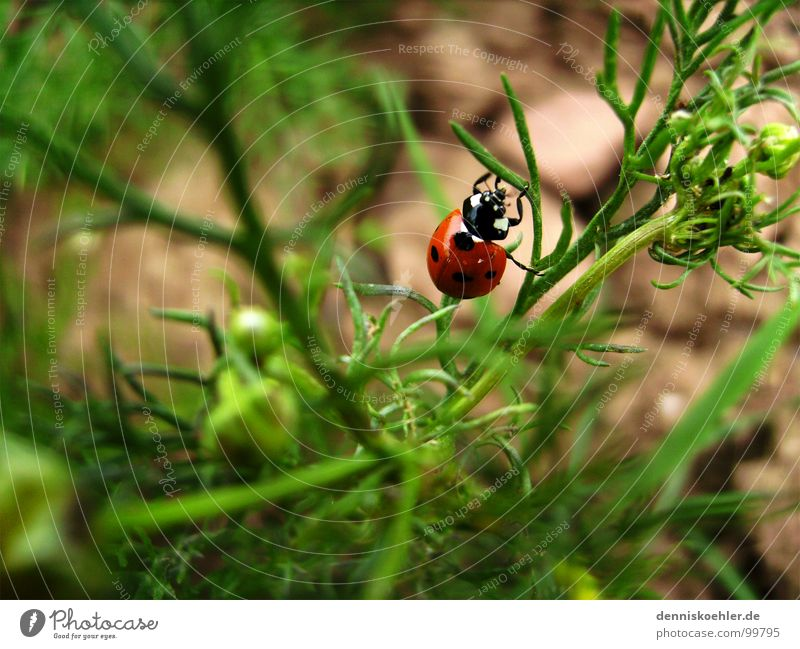 Ladybird in May Insect Feeler Crawl Hang Red Small Cute Beetle Green Field Brown Bushes Plant Flower Spring Summer Animal Exterior shot Close-up Blur