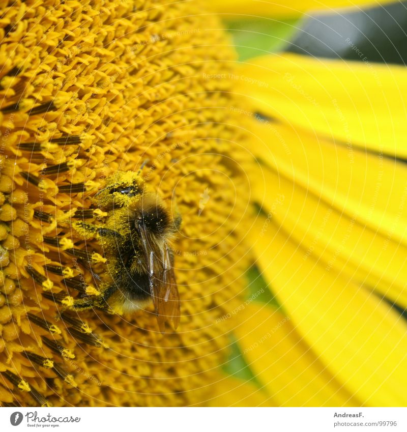 Summer Flower Yellow Blossom Bee Insect Sunflower Pollen Honey Bumble bee Stamen Nectar Sprinkle Honey bee Bee-keeper