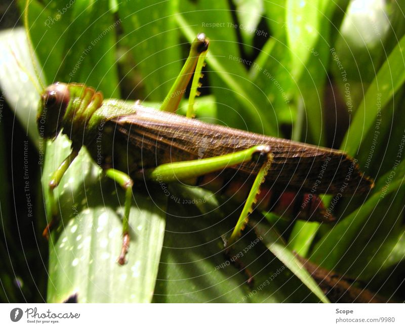 insect Insect Green Hoish cricket