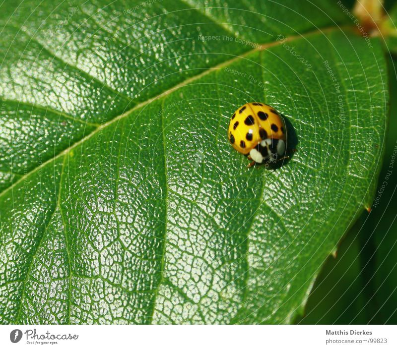 BAD CAMOUFLAGE Insect Animal Ladybird Bow Leaf Rose leaves Flashy Lighting Brown Sunbathing Spotted Beautiful Break Stay Stand Motionless Derogative Camouflage